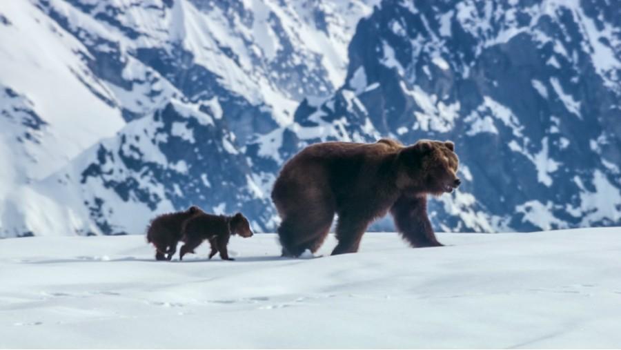 Disneynature bears