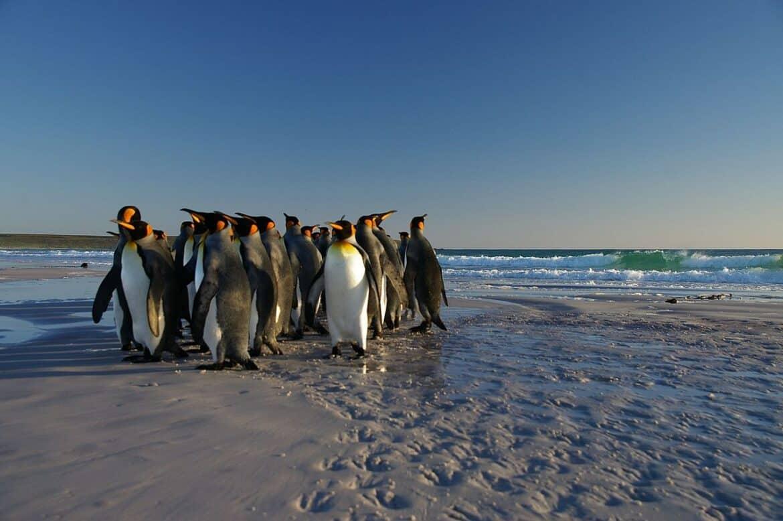 penguins on the beach falkland islands