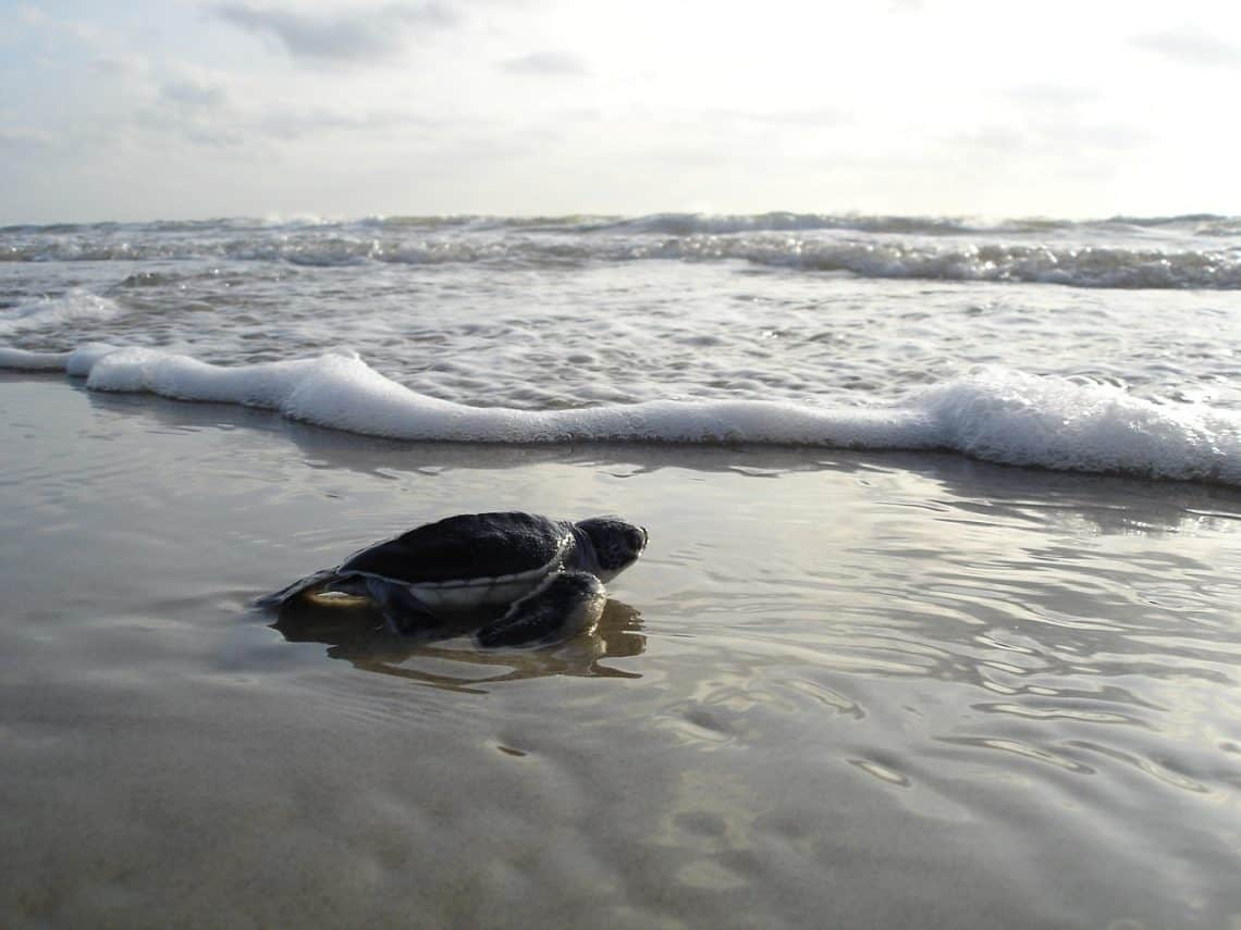 green sea turtle 1185954 1280 1140x855 - Sea Turtle Conservation and What You Can Do to Help