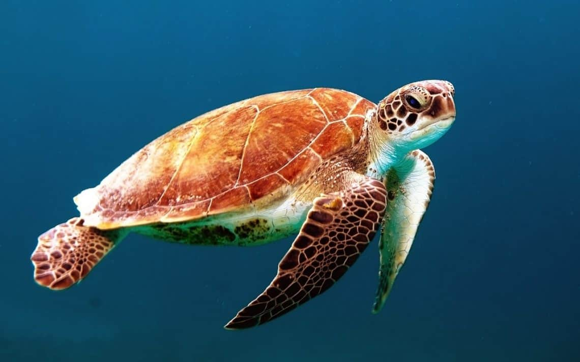 turtle 863336 1280 1140x713 - Sea Turtle Conservation and What You Can Do to Help