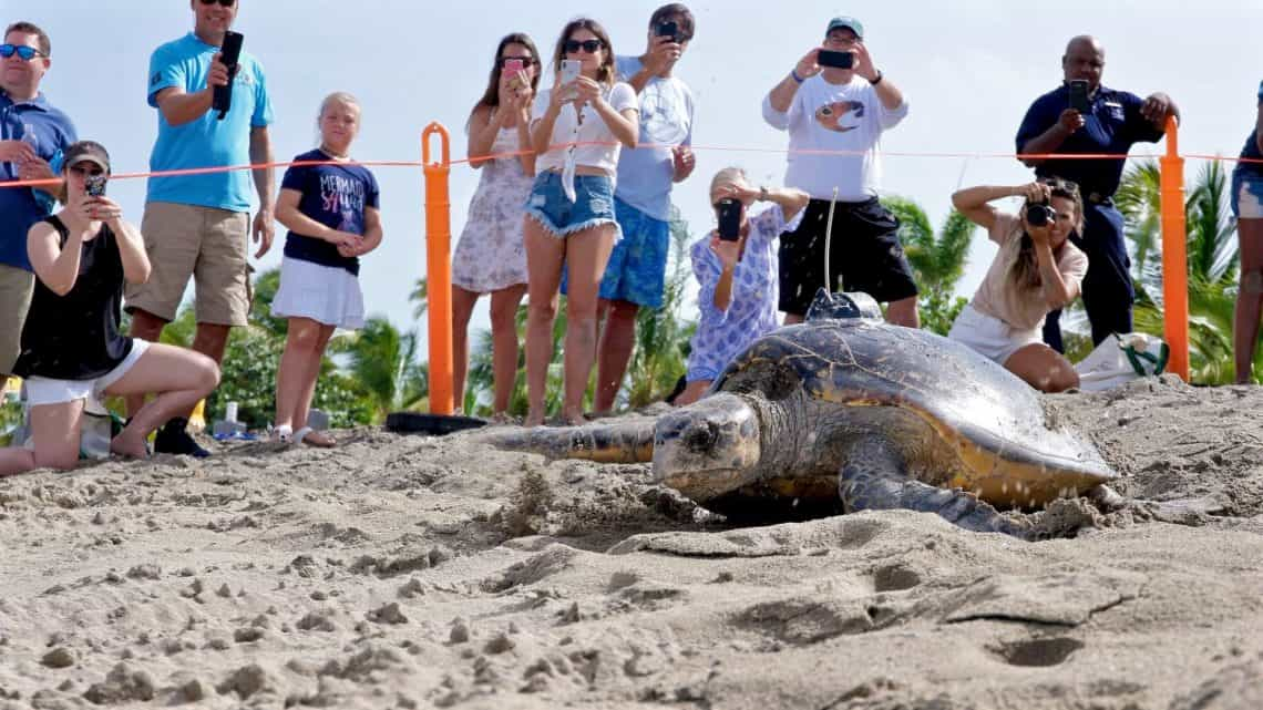 four seasons nevis turtle release 2