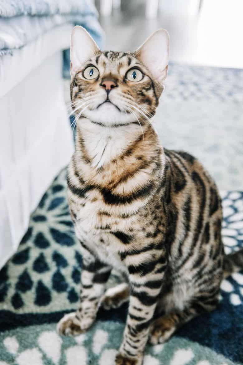 bengal cat indoor cats fleas prevention