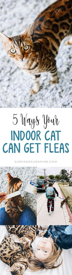5 Ways Your Indoor Cat Can Get Fleas and Ways to Prevent an Infestation in Your Home