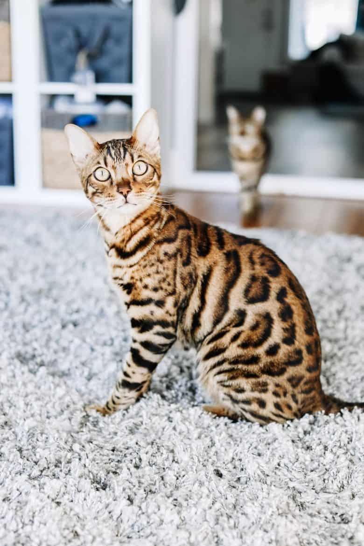 bengal cat indoor cats fleas prevention