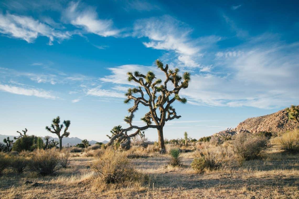 Joshua Tree Cactus Plant