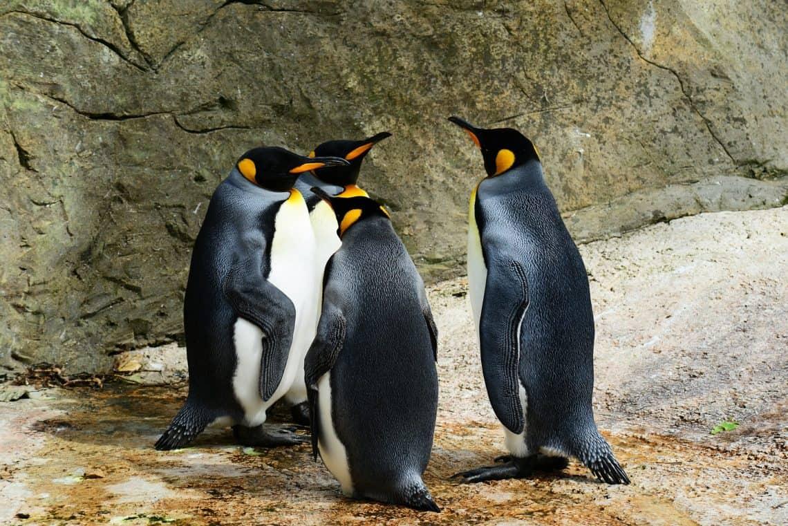 king penguin 384252 1920