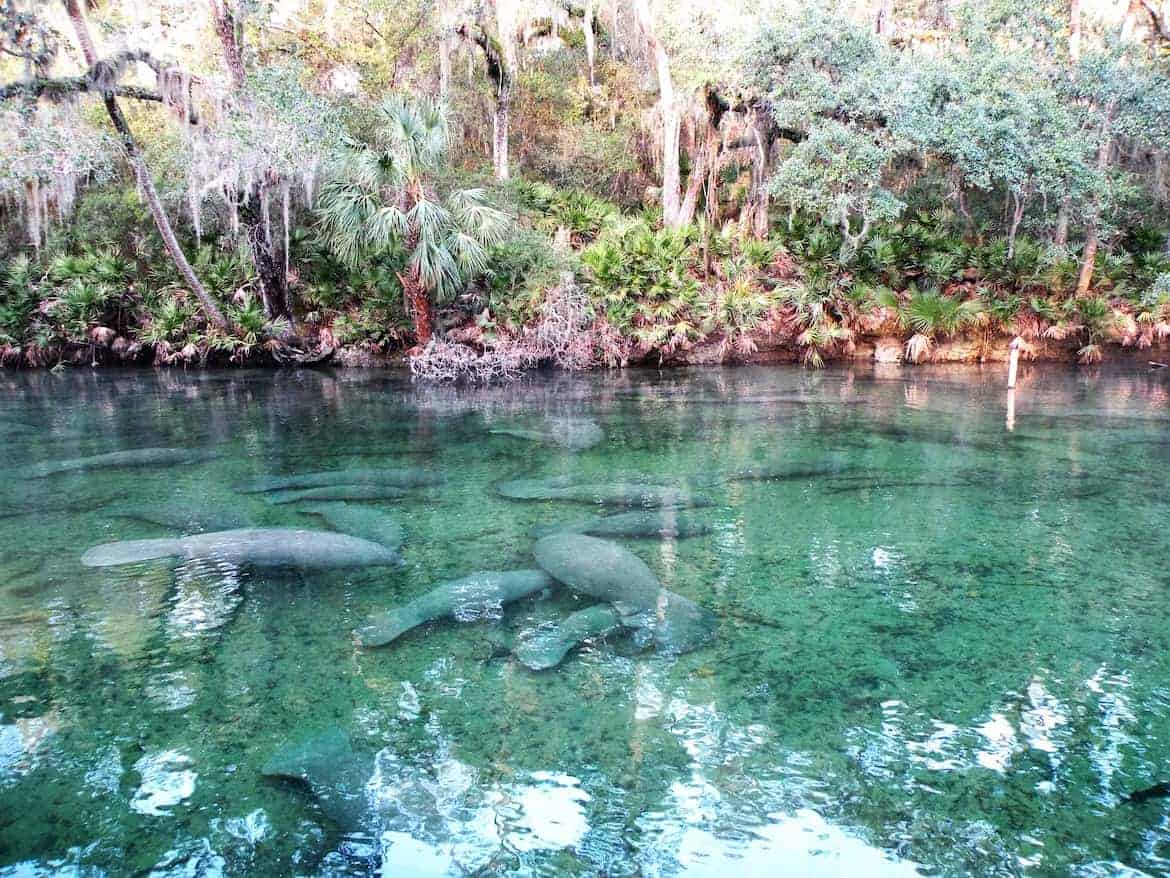 Manatee at Blue Spring State Park