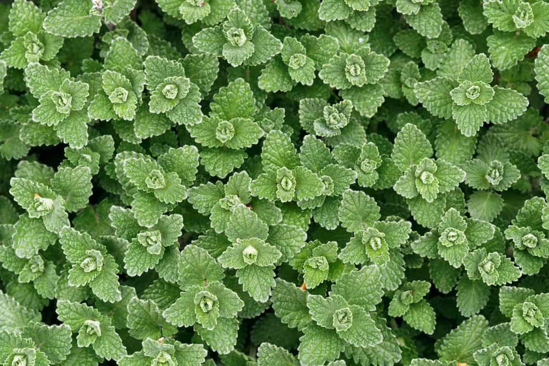 companion plants that deter pests - catnip