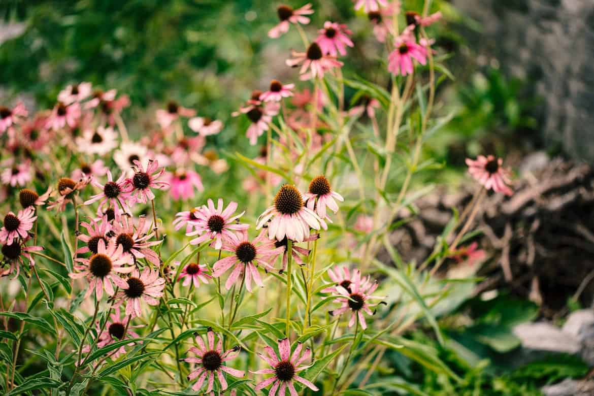 Companion Plants that Repel Pests and Help Your Entire Garden Grow