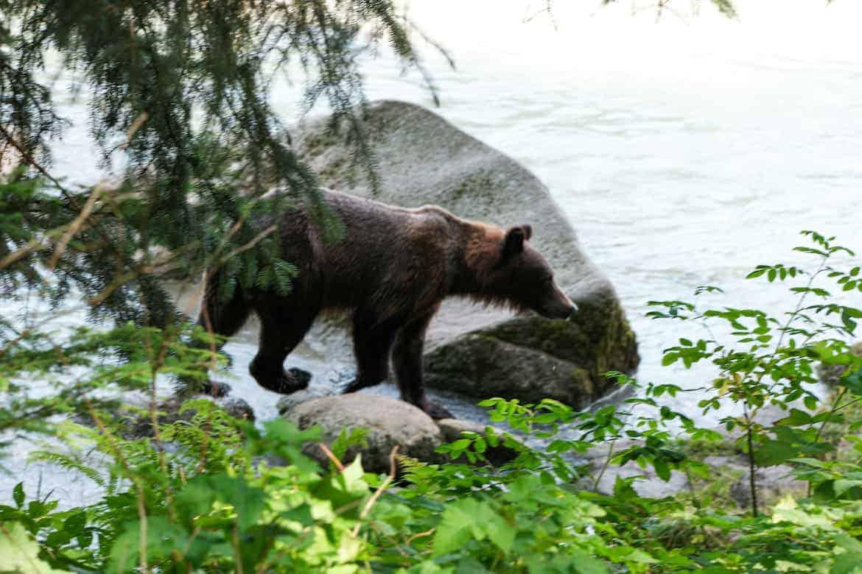 Chilkoot Wildlife Viewing Haines Alaska Bear