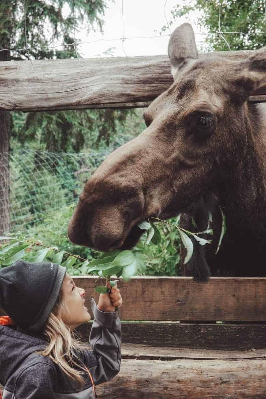 Kroschel Wildlife Center Haines Alaska moose encounter