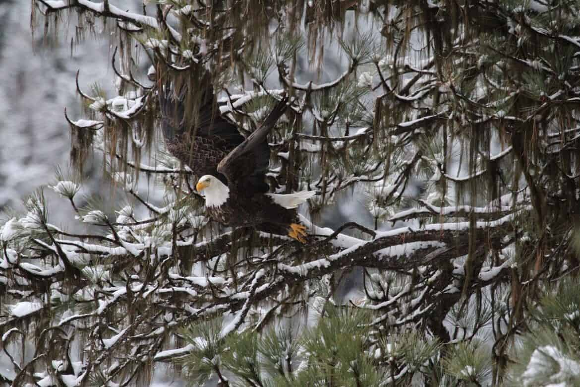 bald eagle 897498 1280 - Winter Activities Around the Country...That Don't Involve Skiing