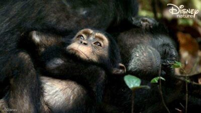 disneynature chimp