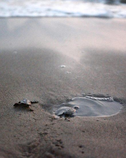 Sea turtle release puerto vallarta
