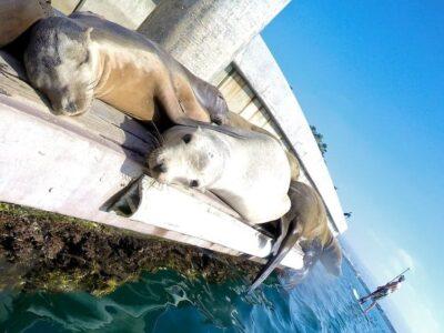 seals in redondo beach