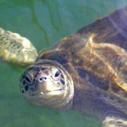 Adopt a Sea Turtle When You Visit Florida