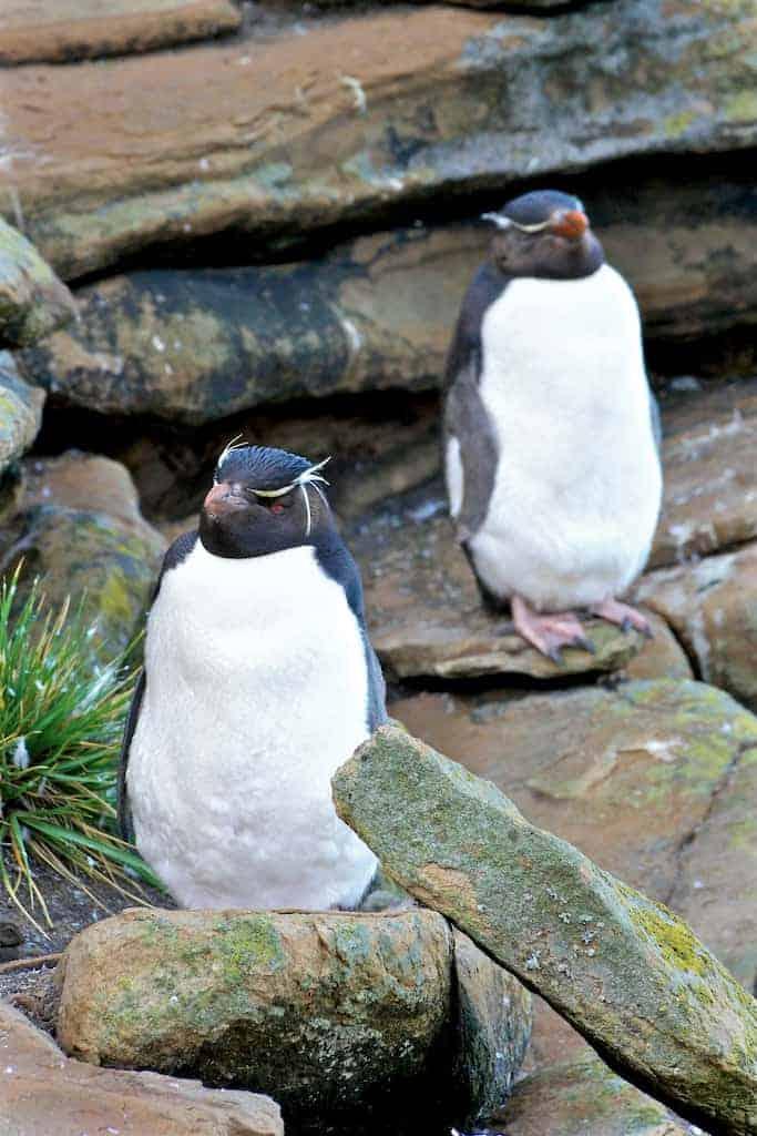 rockhopper penguins west point falkland islands