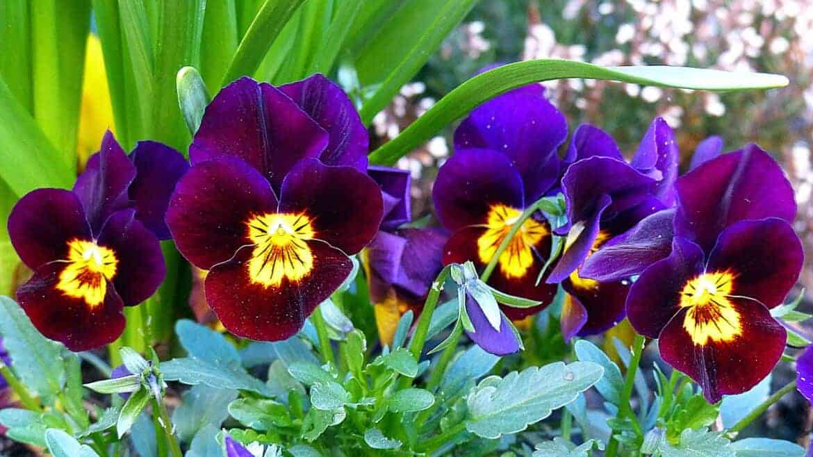 pansy 1344366 1280 - Fall Gardening: Add Color to Your Landscape with Mums, Pansies and Pumpkins!