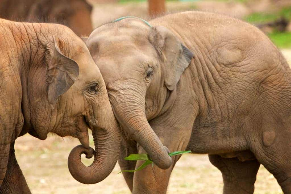 baby elephants