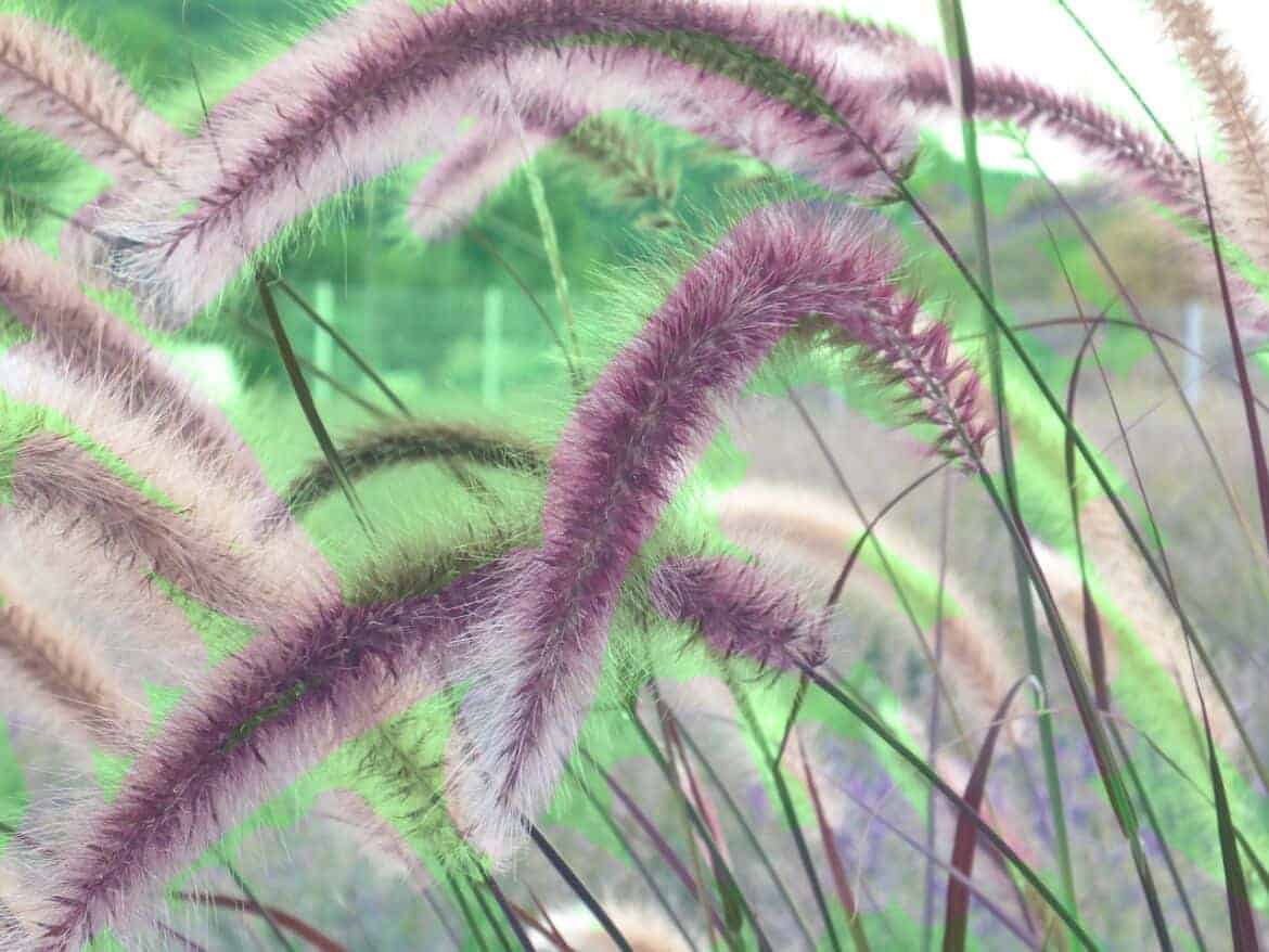 cherry-sparkler-fountain-grass-1677179_1280